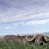 Buffalo (Syncerus Caffer) Migrating, the Serengeti Photographic Print by  JoSon