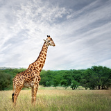 Giraffe at Serenget in National Park,Tanzania Photographic Print by  JoSon