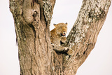 Beautiful 'Big Cat'. Wild Leopard on a Tree Photographic Print by  Volanthevist