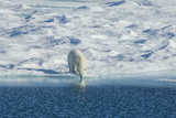 Polar Bear in the Wild. A Powerful Predator and a Vulnerable or Potentially Endangered Species. Photographic Print by Mint Images - David Schultz