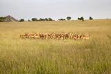 Group of Female Springbok (Antidorcas Marsupialis) Photographic Print by  JoSon