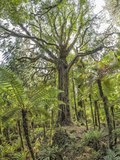 Giant Rimu Tree (Dacrydium Cupressinum). Photographic Print by David Madison