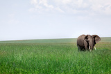 African Elephant (Loxodonta Africana) in Eating Photographic Print by  JoSon