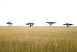 Acacia Tree (Acacia Sp) in Serengeti National Park Photographic Print by  JoSon
