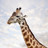 Portrait of Giraffe, Serenget in National Park Photographic Print by  JoSon