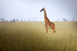 Giraffe at Serenget in National Park,Tanzania Photographic Print by  JoSon