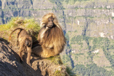 Gelada Baboon Photographic Print by M G Therin Weise