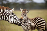 Mom and Baby Zebra in Lake Nakuru, Kenya Photographic Print by Cavan Images