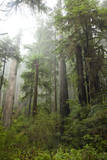 Scenic Image of Redwood National Park, Ca. Photographic Print by Justin Bailie