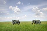 Two African Elephants (Loxodonta Africana) Photographic Print by  JoSon