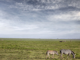Zebras, Monther and Calf, the Great Plain Photographic Print by  JoSon