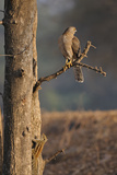 Sparrowhawk and Squirrel on a Tree Trunk Photographic Print by Aditya Singh