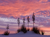 Yucca at Sunset in White Sands National Monument Photographic Print by Russell Burden