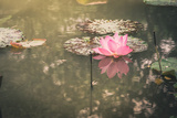 Lotus or Water Lily Flower Vintage Photographic Print by  SweetCrisis