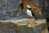 Horned Puffin( Fratercula Corniculata) Photographic Print by Gavriel Jecan
