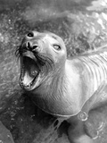 Hungry Seal Photographic Print by  Klages