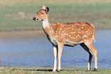 Chital or Axis Deer Photographic Print by  Copyright@JGovindaraj