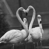 Necking Flamingoes Photographic Print by Derek Berwin