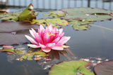 Pink Water Lily Photographic Print by  Nik_photos