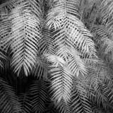 Fern Variations in Infrared Photographic Print by Andreina Schoeberlein