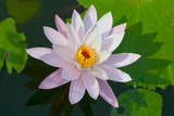 Water Lily Closeup. Indonesia, Bali Photographic Print by  pzAxe