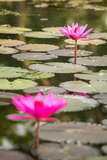 Beautiful Pink Water Lily Closeup Photographic Print by  mazzzur