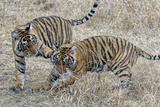 Tiger Cubs at Play Photographic Print by  Copyright@JGovindaraj