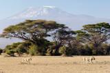 Lions Walking by Acacia Trees and Mount Kilimanjaro, Amboseli National Park, Kenya Fotografisk tryk af Cultura Travel/Philip Lee Harvey