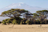 Lions Walking by Acacia Trees and Mount Kilimanjaro, Amboseli National Park, Kenya Photographic Print by Cultura Travel/Philip Lee Harvey