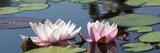 Wasserlilien Fotodruck von Michael Shake
