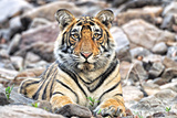 Male Tiger Cub Photographic Print by  Copyright@JGovindaraj