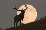 Majestic Bull Elk and Full Moon Rise (Composite) Photographic Print by  Mmphotos