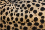 Close-Up of Cheetah Spots on the Animal's Hide in Serengeti National Park, Tanzania Photographic Print by Mint Images - Art Wolfe