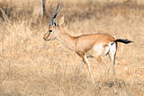 Chinkara or Indian Gazelle Photographic Print by  Copyright@JGovindaraj