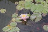 Waterlily, Pink Photographic Print by Aubrey Huggins