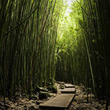 Boardwalk in Bamboo Forest Photographic Print by Danielle D. Hughson