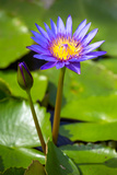Beautiful Blue Egyptian Water Lily (Nymphaea Caerulea) Closeup Photographic Print by  mazzzur