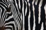 Zebra, Equus Quagga Burchellii, Ngorongoro Conservation Area, Tanzania, Africa Photographic Print by Mint Images/ Art Wolfe