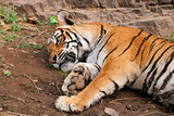Sleepy Tigress Photographic Print by  Copyright@JGovindaraj