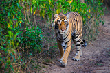 Tigress Photographic Print by  Copyright@JGovindaraj