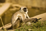 Langur in Ranthambore Photographic Print by Aditya Singh