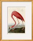 American Flamingo Framed Giclee Print by John James Audubon