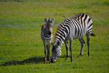 Zebra in Ngorongoro Photographic Print by Antonio Ciufo
