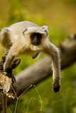 Leaping Langur Monkey Photographic Print by Aditya Singh