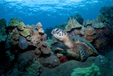 Sea Turtle Photographic Print by M Swiet Productions