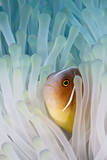 Pink Skunk Clownfish Photographic Print by liquid kingdom - kim yusuf underwater photography
