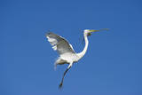 Great Egret Photographic Print by David Tipling