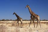 Giraffes at Etosha National Park - Namibia Photographic Print by  JLR