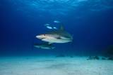 Caribbean Reef Sharks Photographic Print by James R.D. Scott