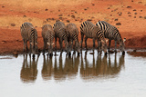 Zebra Herd Drinking at Water Hole Photographic Print by Carmen Brown Photography